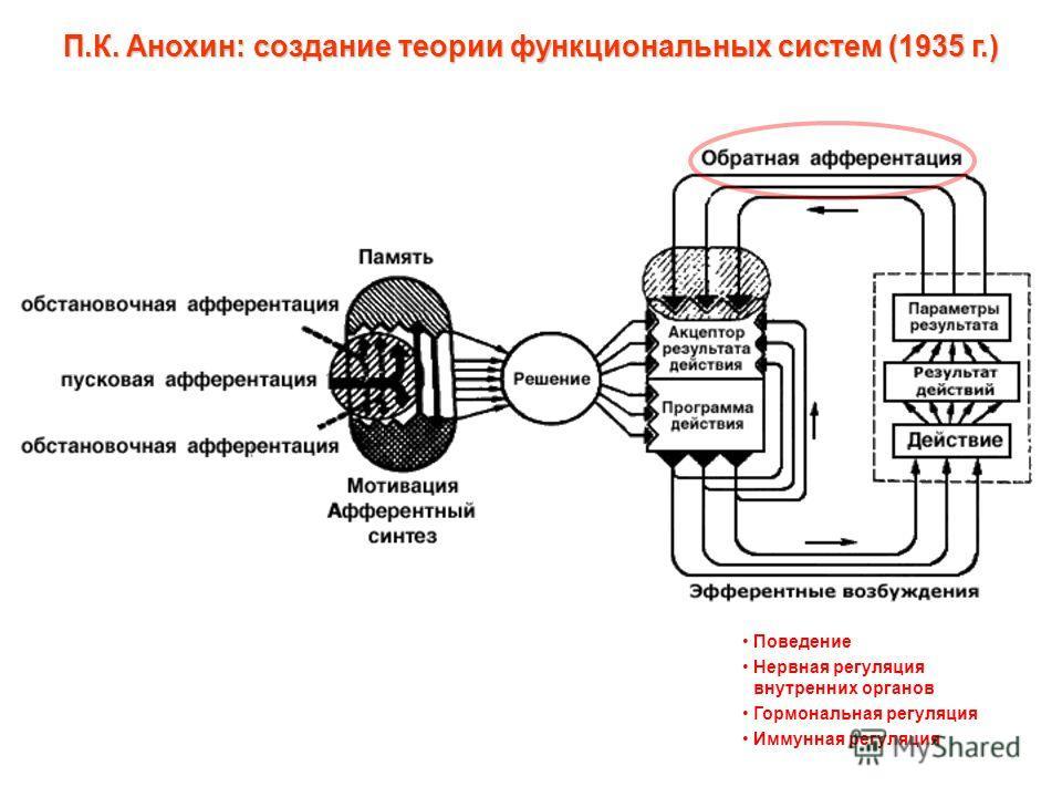П.К. Анохин: создание теории функциональных систем (1935 г.) Поведение Нервная регуляция внутренних органов Гормональная регуляция Иммунная регуляция