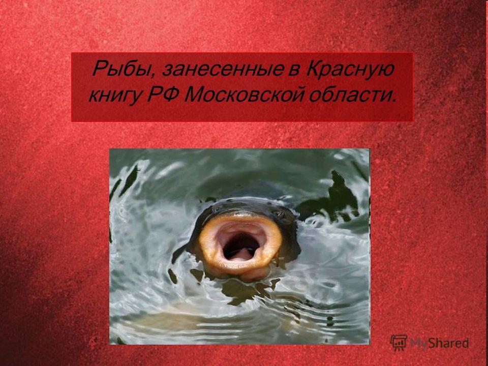 Рыбы, занесенные в Красную книгу РФ Московской области.