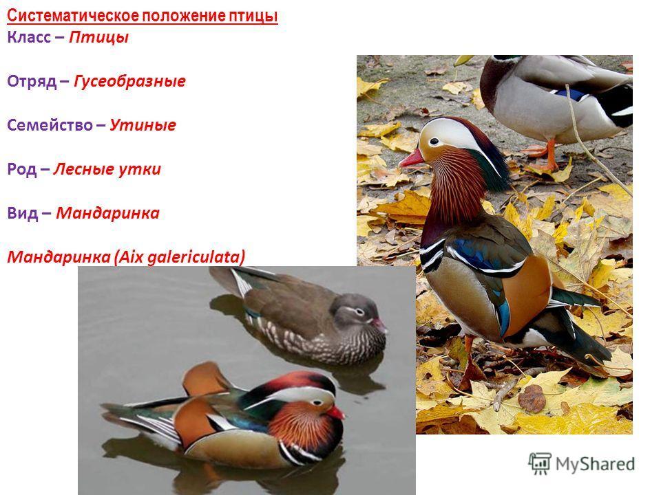 Систематическое положение птицы Класс – Птицы Отряд – Гусеобразные Семейство – Утиные Род – Лесные утки Вид – Мандаринка Мандаринка (Аix galericulata)