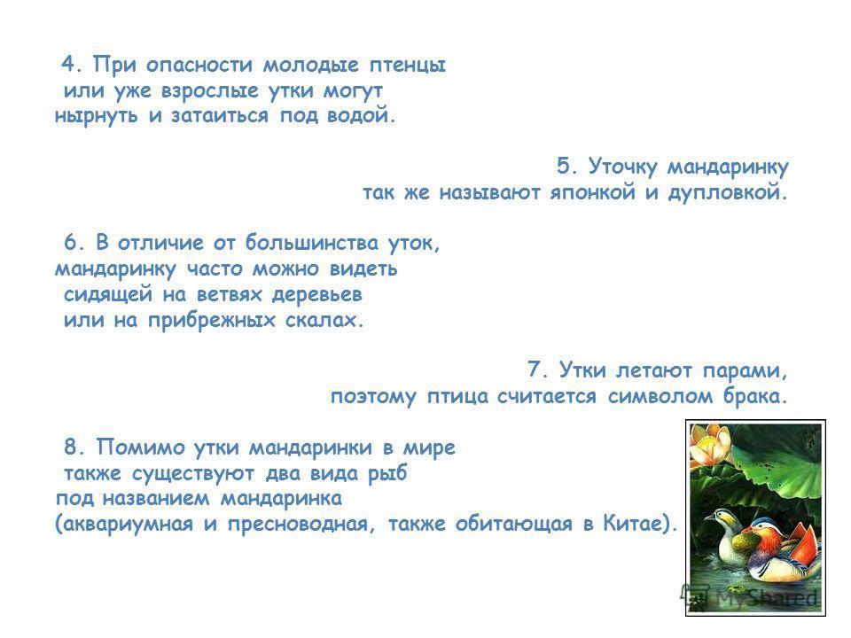 4. При опасности молодые птенцы или уже взрослые утки могут нырнуть и затаиться под водой. 5. Уточку мандаринку так же называют японкой и дупловкой. 6. В отличие от большинства уток, мандаринку часто можно видеть сидящей на ветвях деревьев или на при