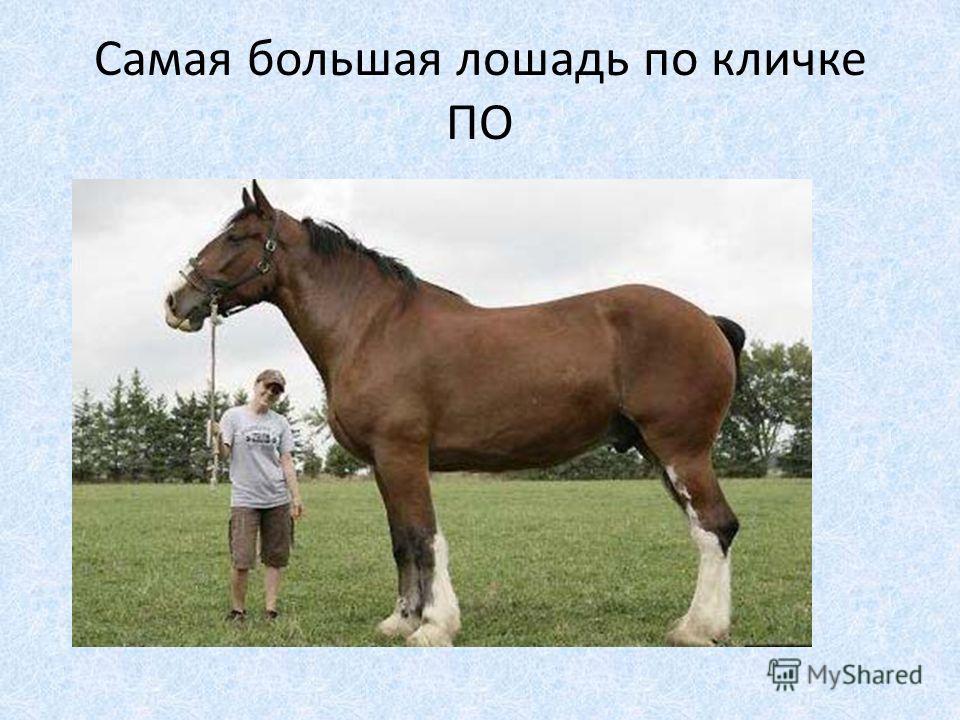 Самая большая лошадь по кличке ПО