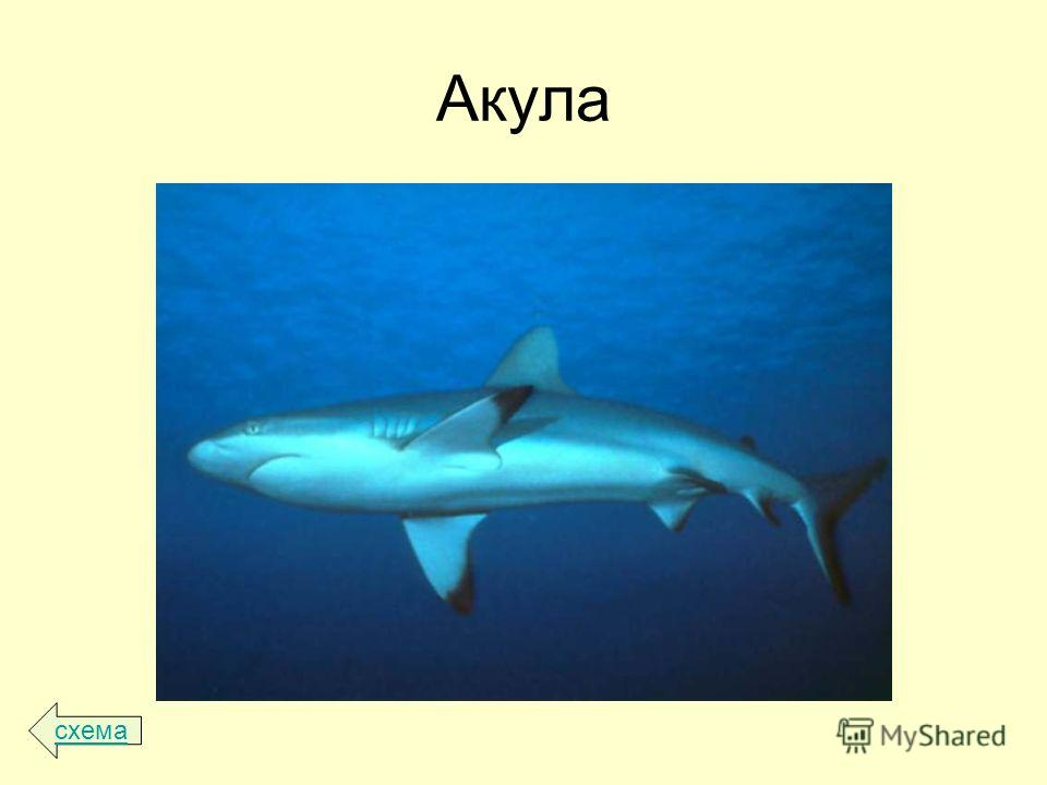 Акула схема