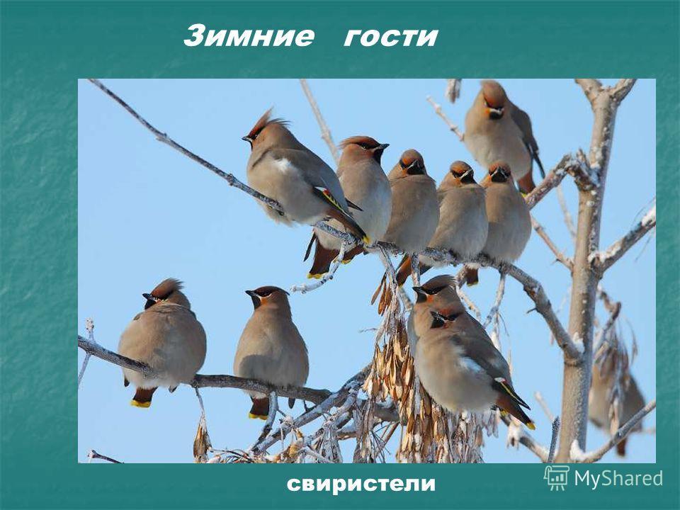 Зимние гости свиристели Зимние гости. Свиристели.