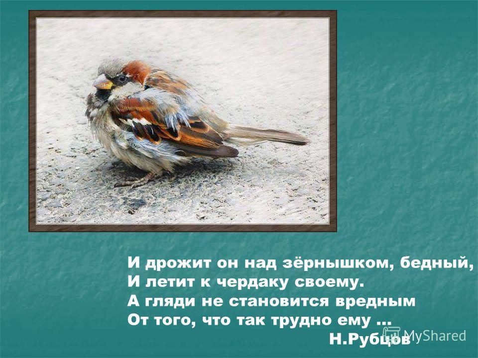 И дрожит он над зёрнышком, бедный, И летит к чердаку своему. А гляди не становится вредным От того, что так трудно ему … Н.Рубцов И дрожит он над зёрнышком, бедный, И летит к чердаку своему. А гляди не становится вредным от того, что так трудно ему …