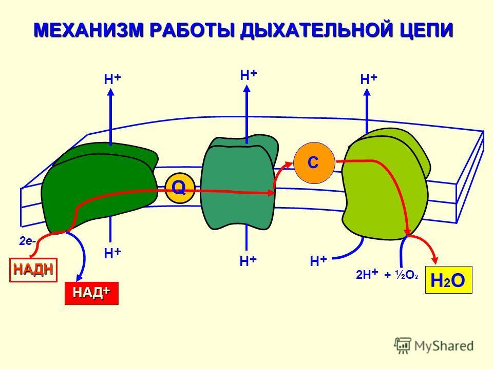 МЕХАНИЗМ РАБОТЫ ДЫХАТЕЛЬНОЙ ЦЕПИ Q C Н + Н+Н+ НАД + Н + 2Н + + ½О 2 Н2ОН2О 2е- НАДН Н+Н+