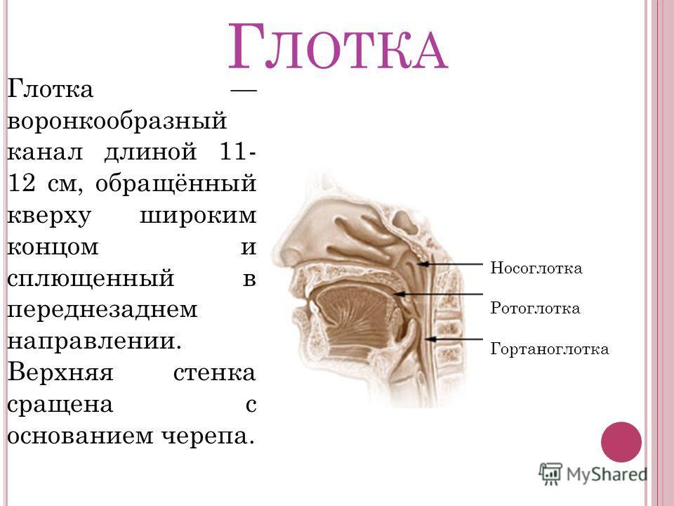 Г ЛОТКА Глотка воронкообразный канал длиной 11- 12 см, обращённый кверху широким концом и сплющенный в переднезаднем направлении. Верхняя стенка сращена с основанием черепа. Носоглотка Ротоглотка Гортаноглотка