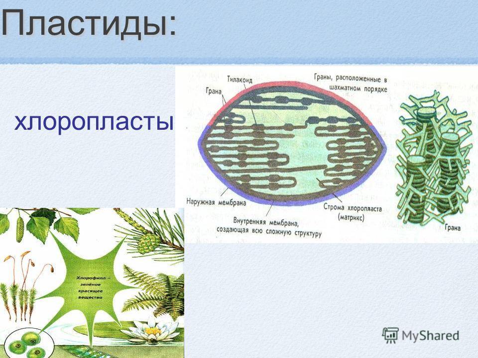 Пластиды: хлоропласты