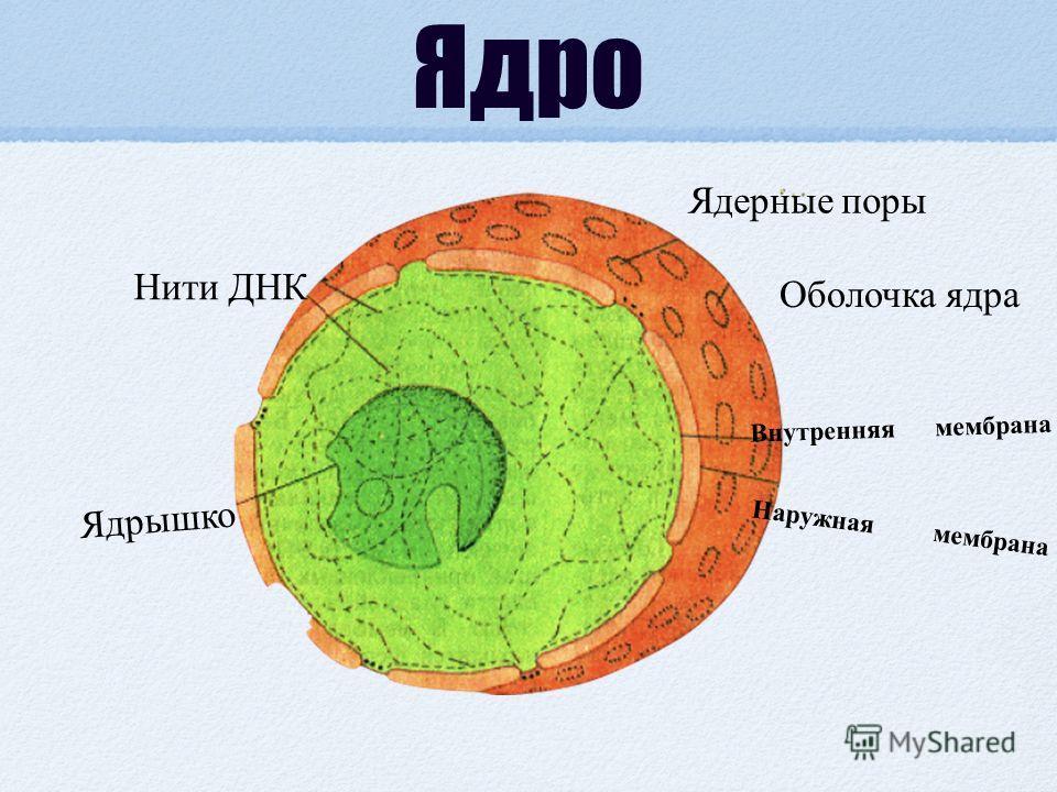 Ядро Наружная мембрана Внутренняя мембрана Оболочка ядра Ядерные поры Нити ДНК Ядрышко