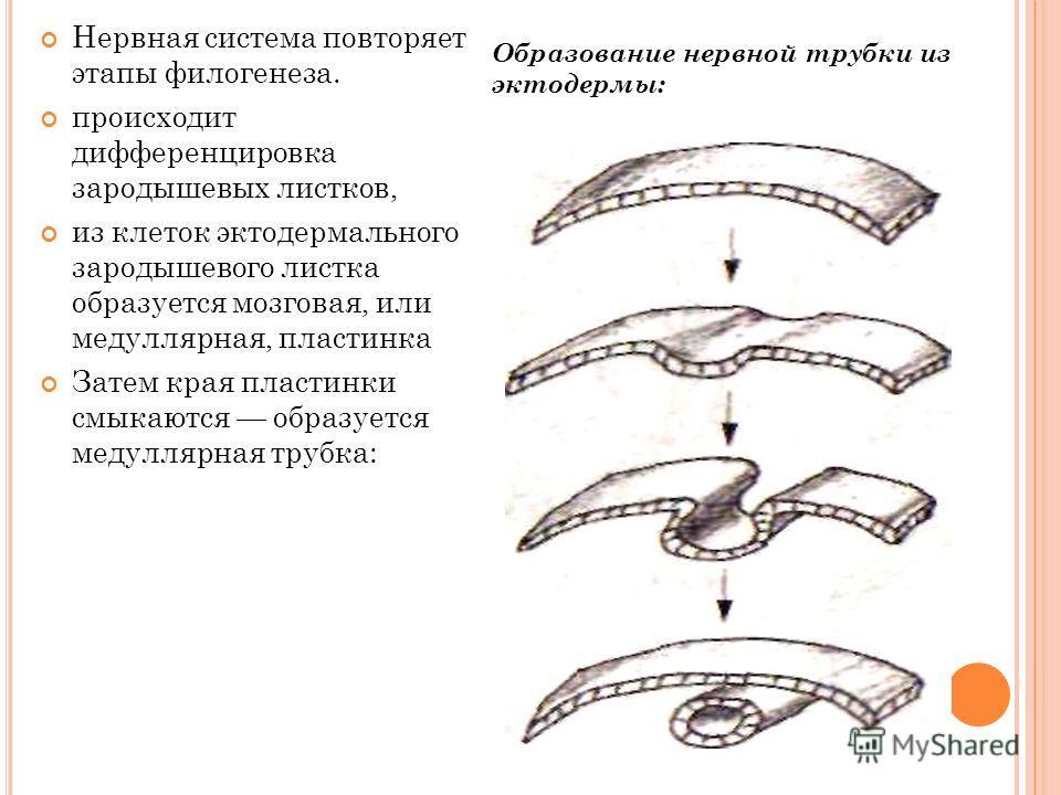 Нервная система повторяет этапы филогенеза. происходит дифференцировка зародышевых листков, из клеток эктодермального зародышевого листка образуется мозговая, или медуллярная, пластинка Затем края пластинки смыкаются образуется медуллярная трубка: Об