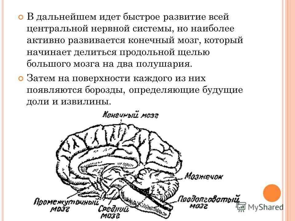 В дальнейшем идет быстрое развитие всей центральной нервной системы, но наиболее активно развивается конечный мозг, который начинает делиться продольной щелью большого мозга на два полушария. Затем на поверхности каждого из них появляются борозды, оп