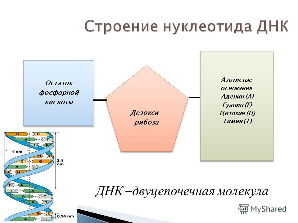 Строение нуклеотида ДНК Азотистые основания: Аденин (А) Гуанин (Г) Цитозин (Ц) Тимин (Т) Азотистые основания: Аденин (А) Гуанин (Г) Цитозин (Ц) Тимин (Т) Дезокси- рибоза Дезокси- рибоза Остаток фосфорной кислоты Остаток фосфорной кислоты ДНК – двуцеп