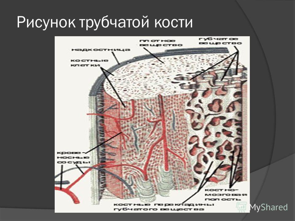 Рисунок трубчатой кости