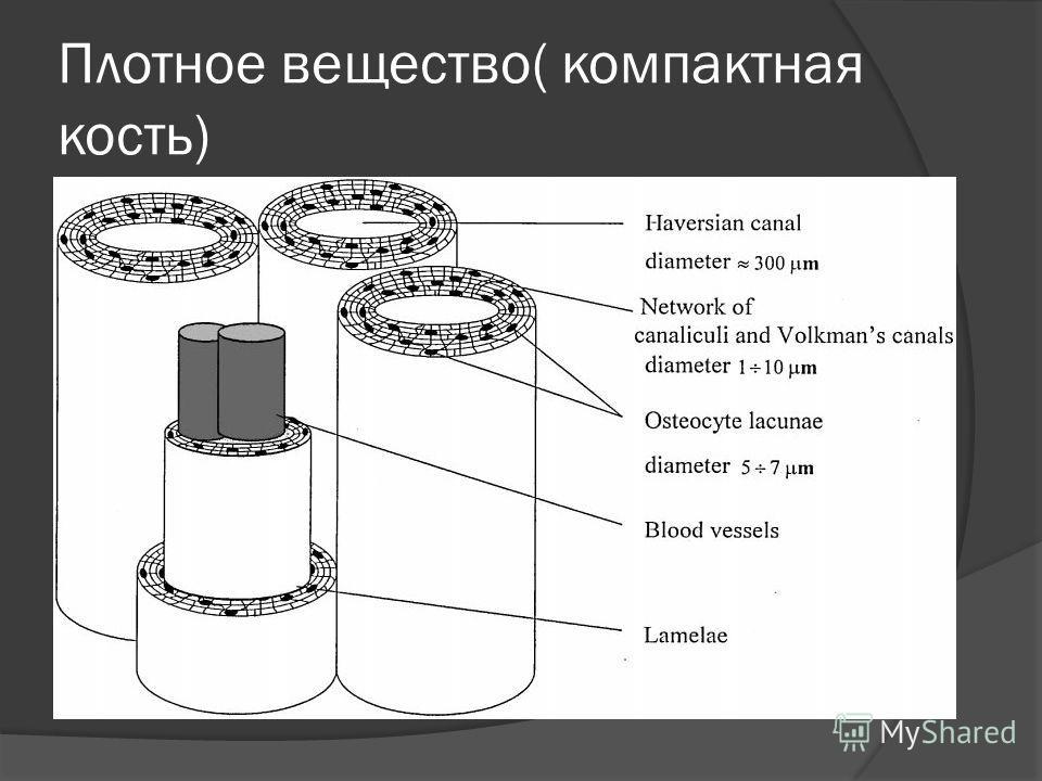 Плотное вещество( компактная кость)