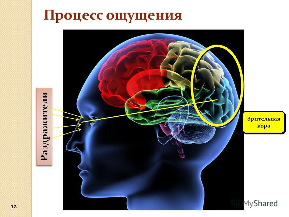 Зрительная кора Процесс ощущения 12 Раздражители