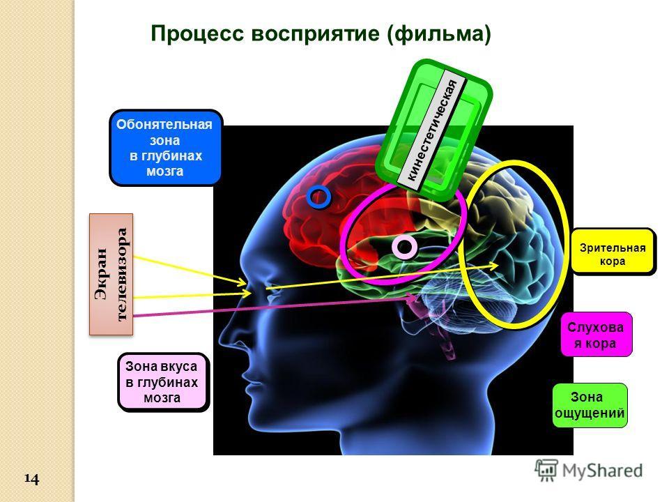 Процесс восприятие (фильма) Обонятельная зона в глубинах мозга Зона ощущений Зона вкуса в глубинах мозга Зона вкуса в глубинах мозга Зрительная кора Слухова я кора кинестетическая Экран телевизора 14