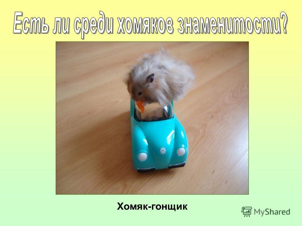 Хомяк-гонщик