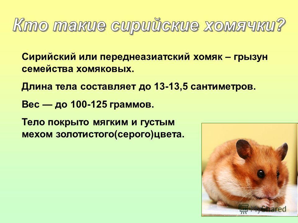Сирийский или переднеазиатский хомяк – грызун семейства хомяковых. Длина тела составляет до 13-13,5 сантиметров. Вес до 100-125 граммов. Тело покрыто мягким и густым мехом золотистого(серого)цвета.