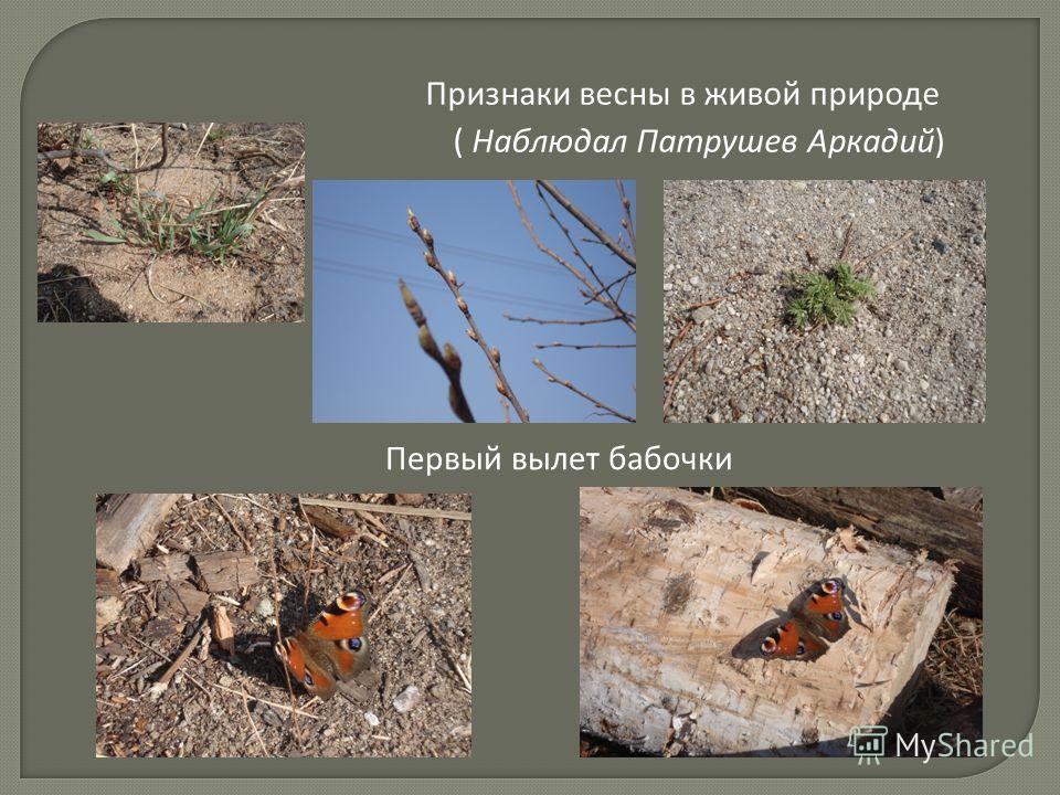 Признаки весны в живой природе ( Наблюдал Патрушев Аркадий) Первый вылет бабочки