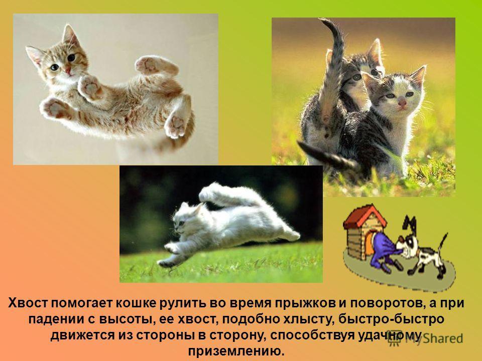Хвост помогает кошке рулить во время прыжков и поворотов, а при падении с высоты, ее хвост, подобно хлысту, быстро-быстро движется из стороны в сторону, способствуя удачному приземлению.