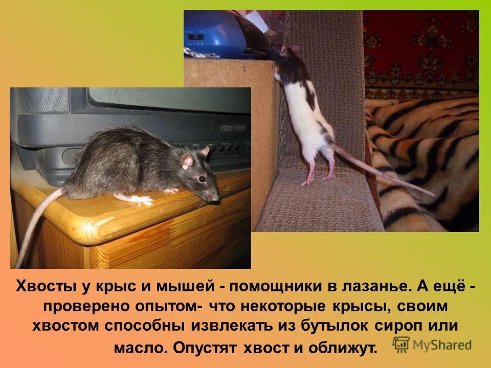 Хвосты у крыс и мышей - помощники в лазанье. А ещё - проверено опытом- что некоторые крысы, своим хвостом способны извлекать из бутылок сироп или масло. Опустят хвост и оближут.