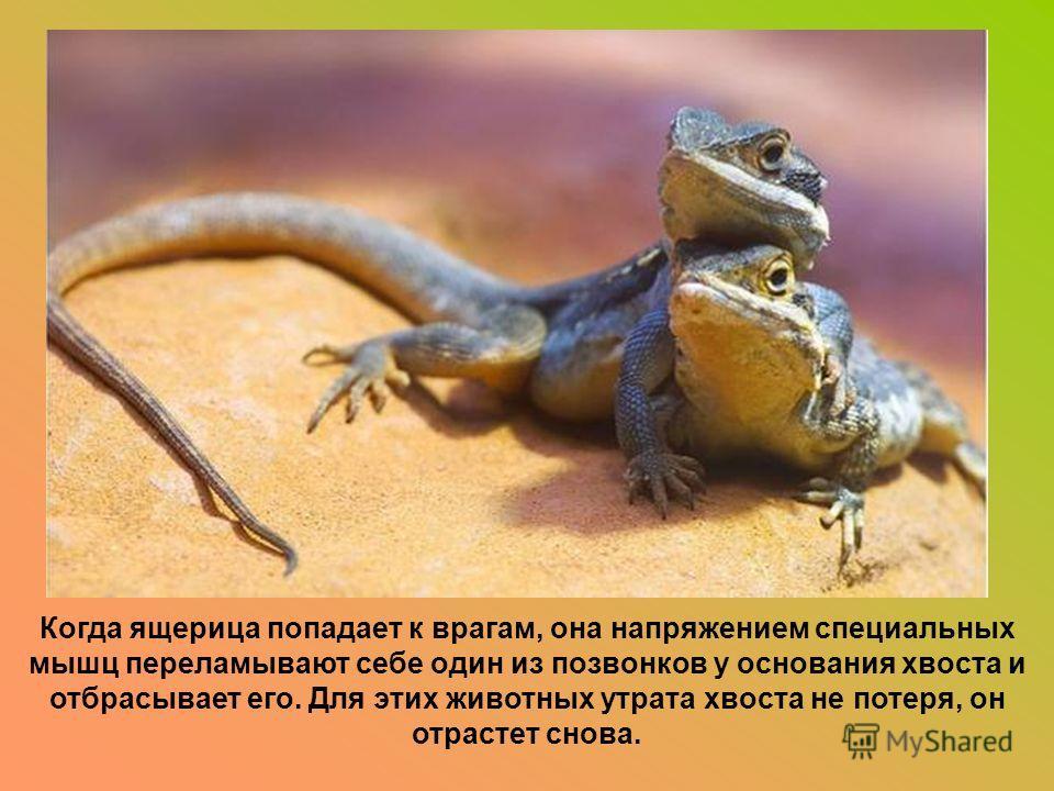 Когда ящерица попадает к врагам, она напряжением специальных мышц переламывают себе один из позвонков у основания хвоста и отбрасывает его. Для этих животных утрата хвоста не потеря, он отрастет снова.