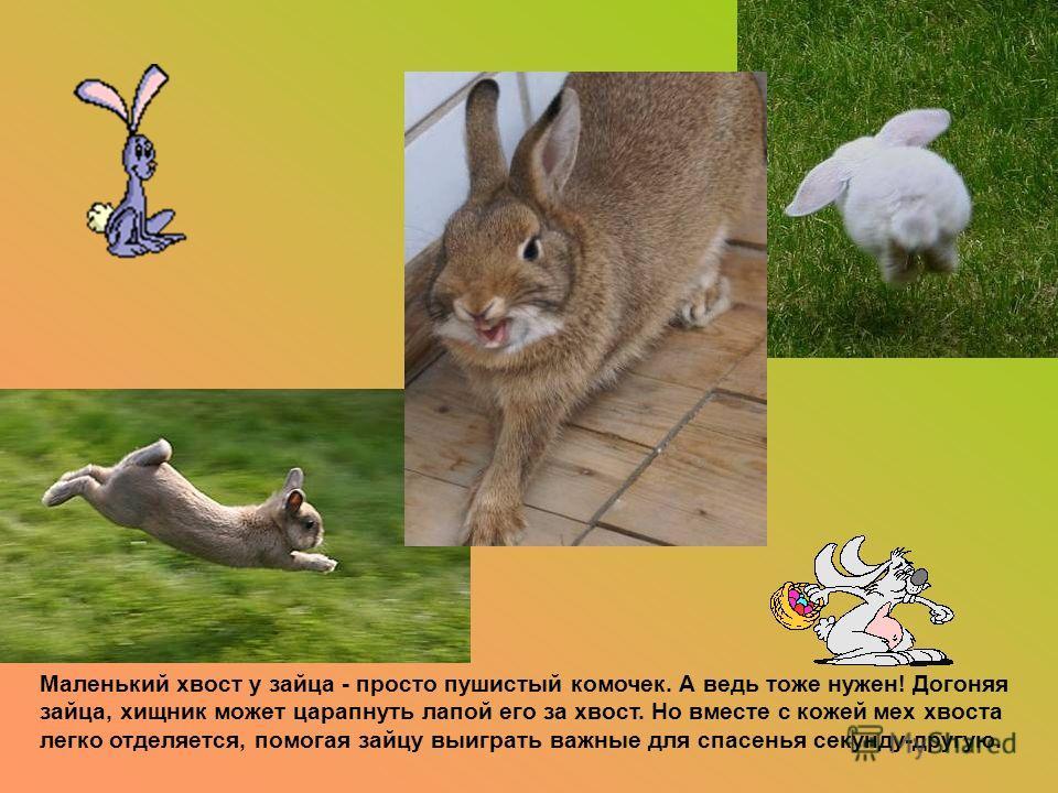Маленький хвост у зайца - просто пушистый комочек. А ведь тоже нужен! Догоняя зайца, хищник может царапнуть лапой его за хвост. Но вместе с кожей мех хвоста легко отделяется, помогая зайцу выиграть важные для спасенья секунду-другую.
