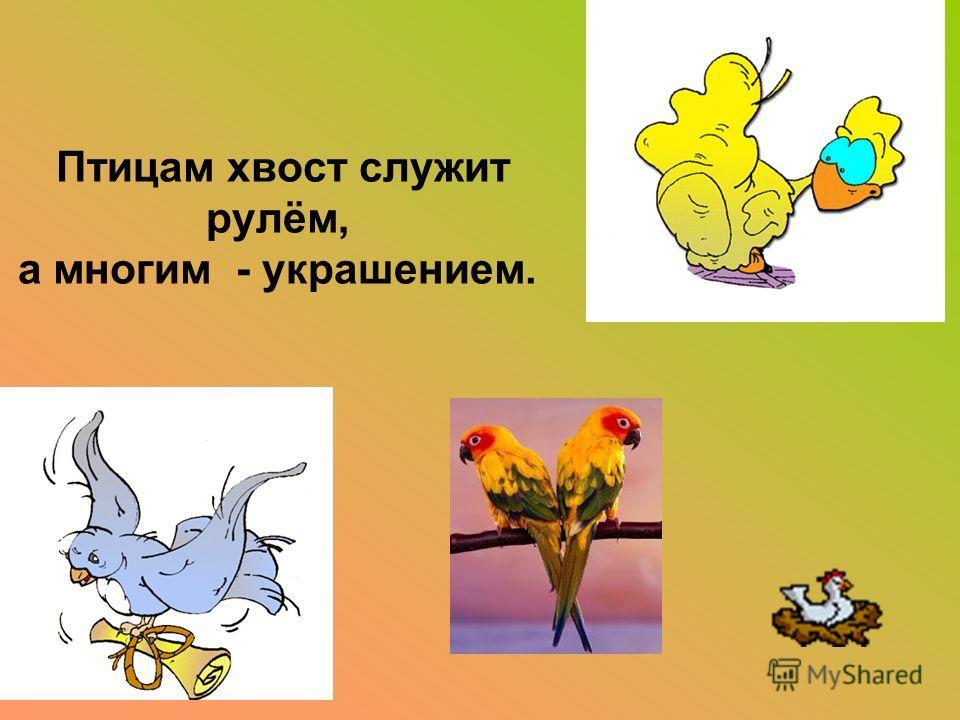 Птицам хвост служит рулём, а многим - украшением.