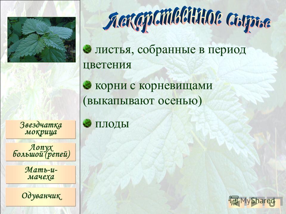 листья, собранные в период цветения корни с корневищами (выкапывают осенью) плоды Звездчатка мокрица Лопух большой (репей) Мать-и- мачеха Одуванчик
