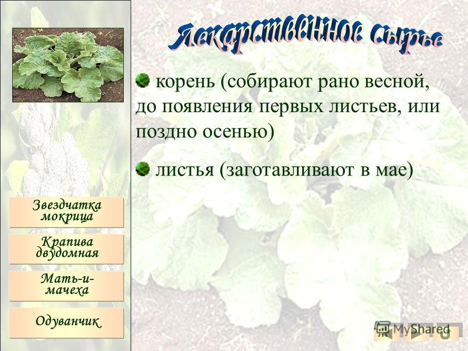 корень (собирают рано весной, до появления первых листьев, или поздно осенью) листья (заготавливают в мае) Звездчатка мокрица Крапива двудомная Мать-и- мачеха Одуванчик