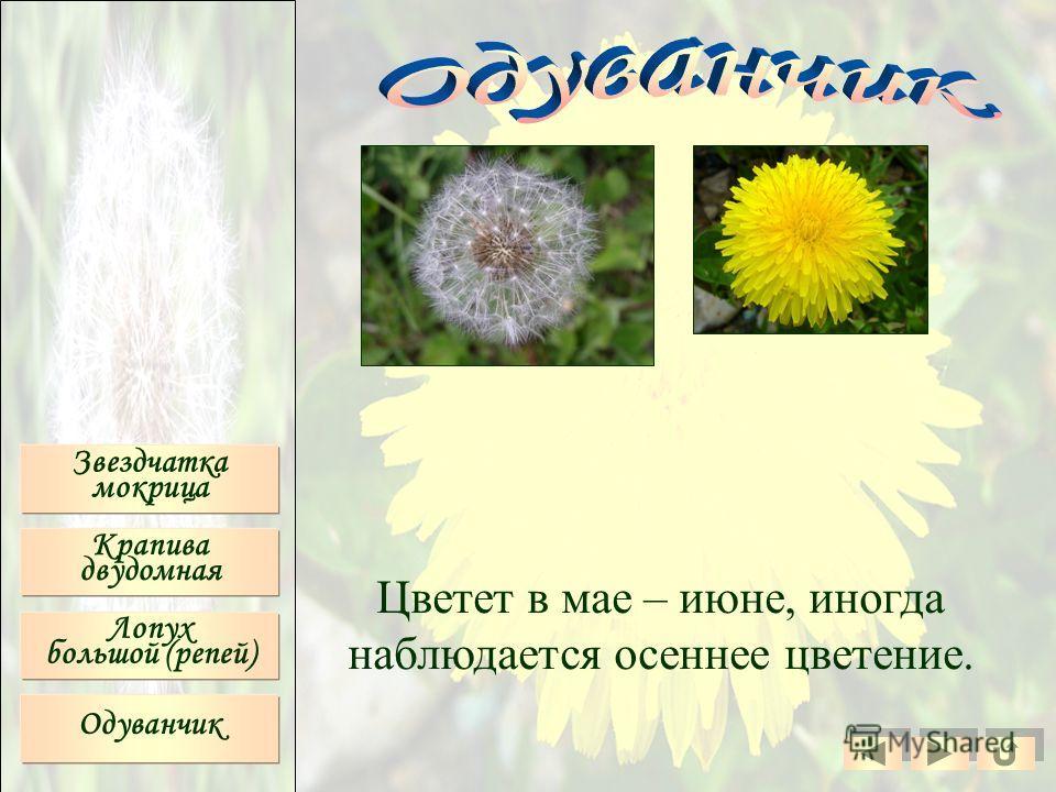 Звездчатка мокрица Крапива двудомная Лопух большой (репей) Одуванчик Цветет в мае – июне, иногда наблюдается осеннее цветение.