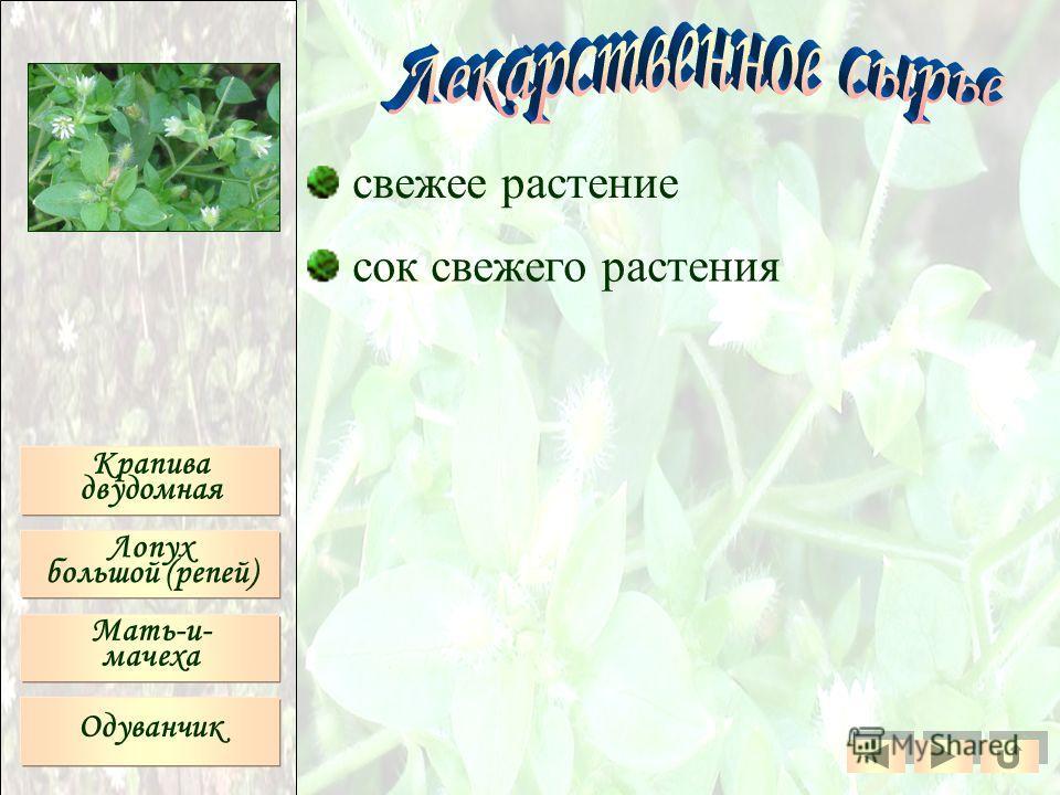 Крапива двудомная Лопух большой (репей) Мать-и- мачеха Одуванчик свежее растение сок свежего растения