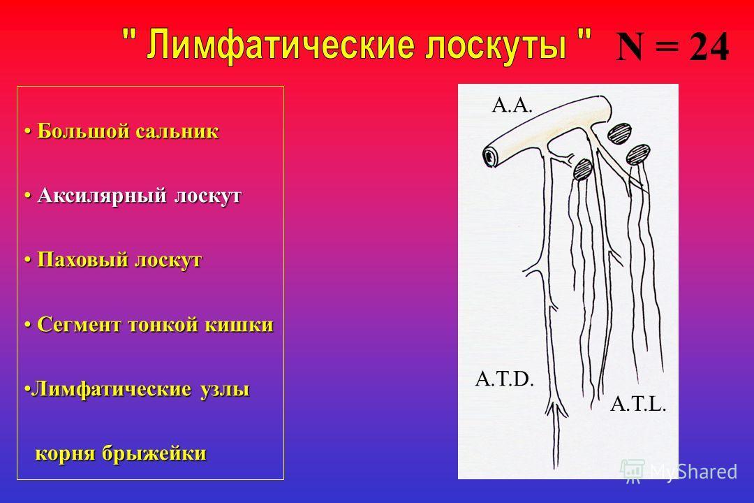 Большой сальник Большой сальник Аксилярный лоскут Аксилярный лоскут Паховый лоскут Паховый лоскут Сегмент тонкой кишки Сегмент тонкой кишки Лимфатические узлыЛимфатические узлы корня брыжейки корня брыжейки A.A. A.T.D. A.T.L. N = 24