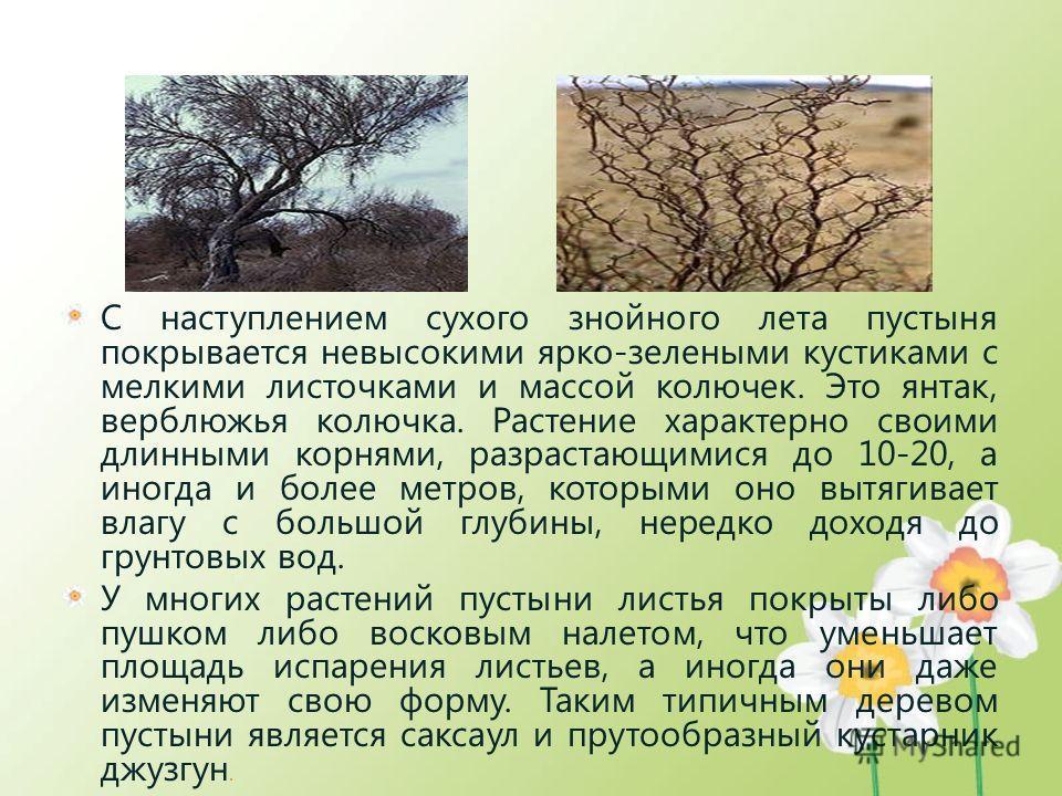 С наступлением сухого знойного лета пустыня покрывается невысокими ярко-зелеными кустиками с мелкими листочками и массой колючек. Это янтак, верблюжья колючка. Растение характерно своими длинными корнями, разрастающимися до 10-20, а иногда и более ме