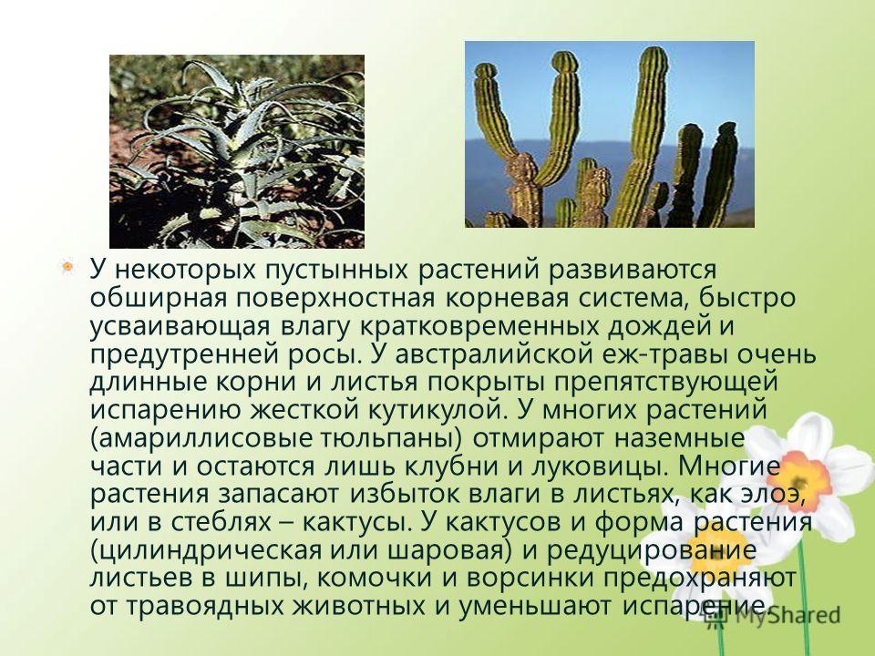 У некоторых пустынных растений развиваются обширная поверхностная корневая система, быстро усваивающая влагу кратковременных дождей и предутренней росы. У австралийской еж-травы очень длинные корни и листья покрыты препятствующей испарению жесткой ку