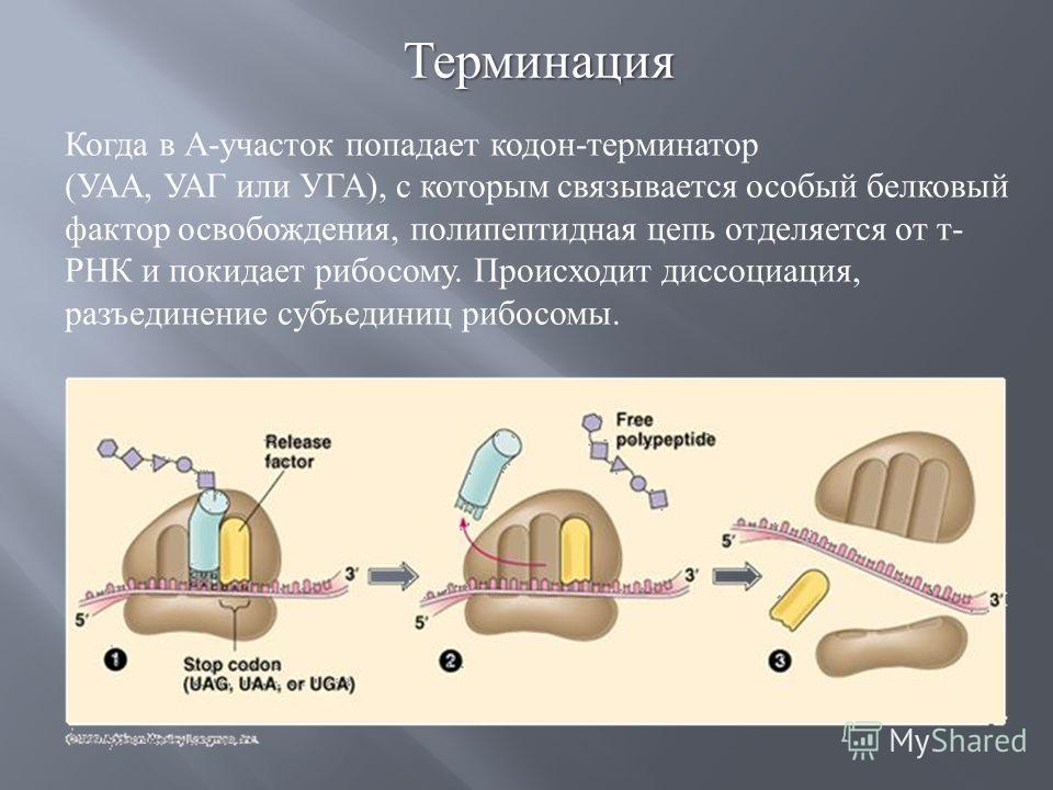 Когда в А - участок попадает кодон - терминатор ( УАА, УАГ или УГА ), с которым связывается особый белковый фактор освобождения, полипептидная цепь отделяется от т - РНК и покидает рибосому. Происходит диссоциация, разъединение субъединиц рибосомы. Т