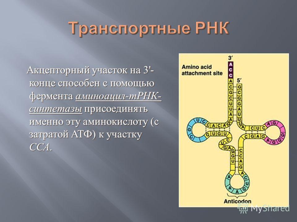 Акцепторный участок на 3'- конце способен с помощью фермента аминоацил - тРНК - синтетазы присоединять именно эту аминокислоту ( с затратой АТФ ) к участку ССА. Акцепторный участок на 3'- конце способен с помощью фермента аминоацил - тРНК - синтетазы