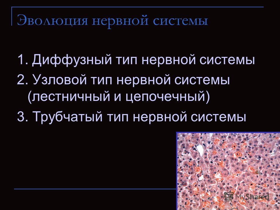 Эволюция нервной системы 1. Диффузный тип нервной системы 2. Узловой тип нервной системы (лестничный и цепочечный) 3. Трубчатый тип нервной системы