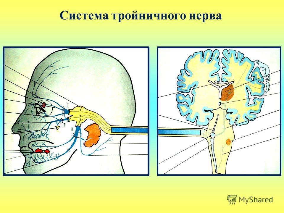 Система тройничного нерва