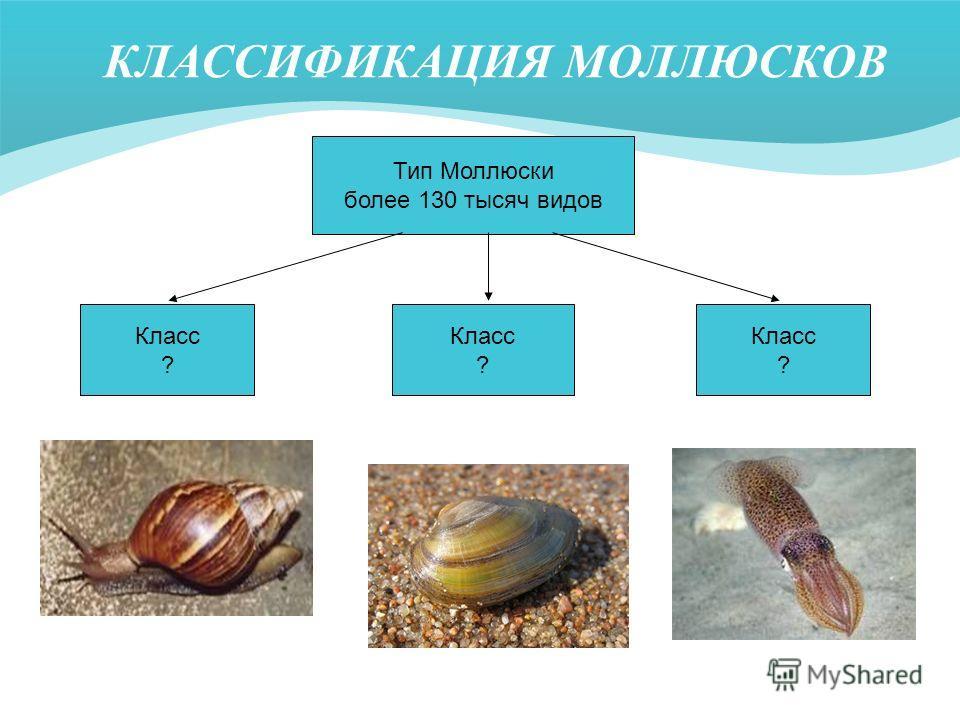 КЛАССИФИКАЦИЯ МОЛЛЮСКОВ Тип Моллюски более 130 тысяч видов Класс ? Класс ? Класс ?