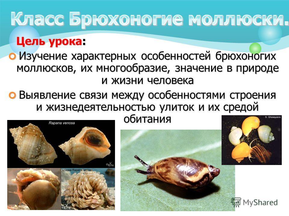 Цель урока: Изучение характерных особенностей брюхоногих моллюсков, их многообразие, значение в природе и жизни человека Выявление связи между особенностями строения и жизнедеятельностью улиток и их средой обитания