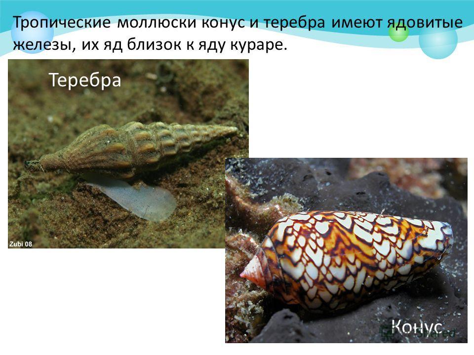 Тропические моллюски конус и теребра имеют ядовитые железы, их яд близок к яду кураре. Теребра Конус