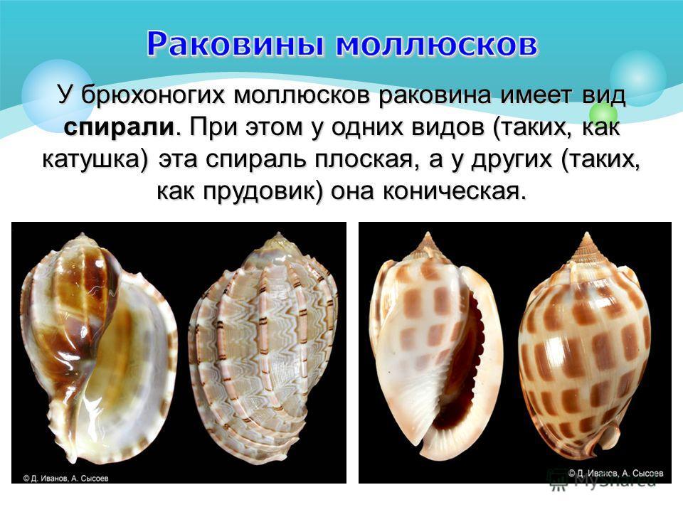 У брюхоногих моллюсков раковина имеет вид спирали. При этом у одних видов (таких, как катушка) эта спираль плоская, а у других (таких, как прудовик) она коническая.
