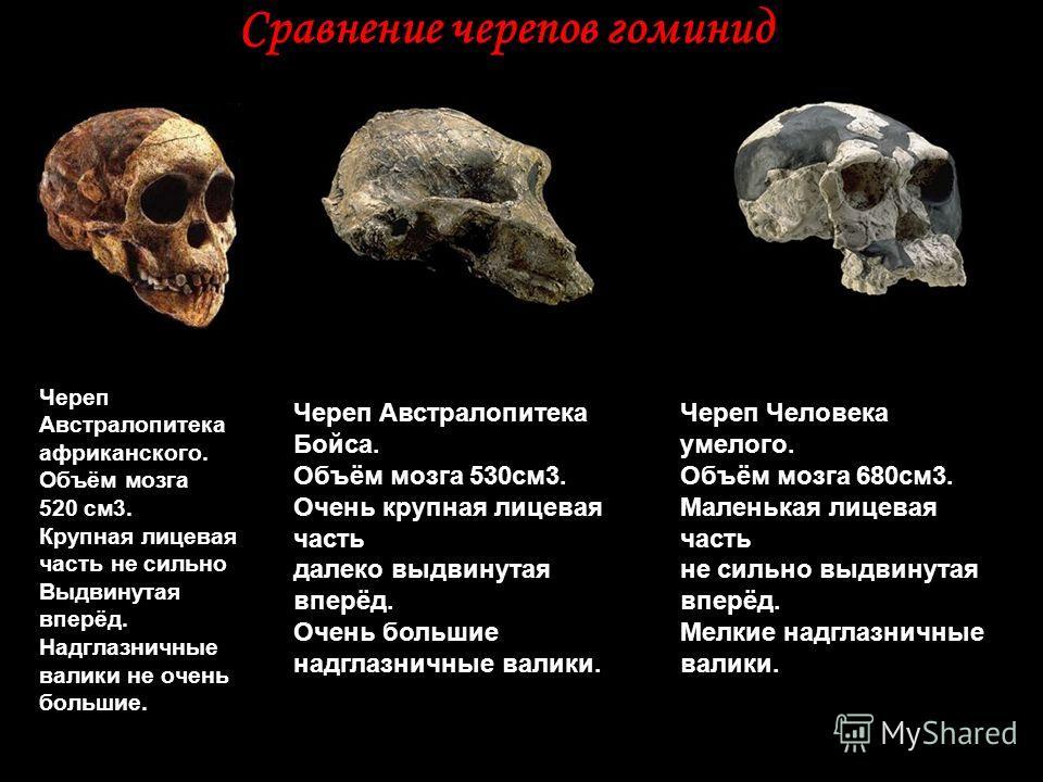 Сравнение черепов гоминид Череп Австралопитека африканского. Объём мозга 520 см3. Крупная лицевая часть не сильно Выдвинутая вперёд. Надглазничные валики не очень большие. Череп Австралопитека Бойса. Объём мозга 530см3. Очень крупная лицевая часть да