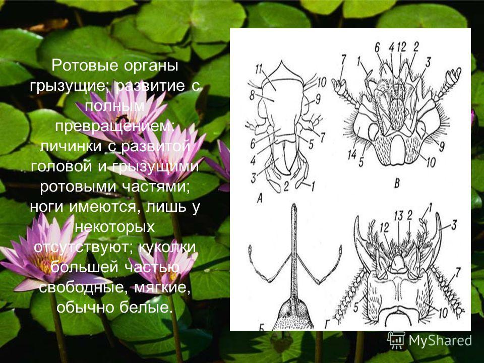 Вначале о жуках. Жуки, жесткокрылые (Coleoptera), крупнейший отряд насекомых. Для Жуков характерно превращение 1-й пары крыльев в жёсткие надкрылья (или элитры), служащие для защиты 2-й, лётной пары крыльев и мягкой верхней стороны брюшка; переднегру