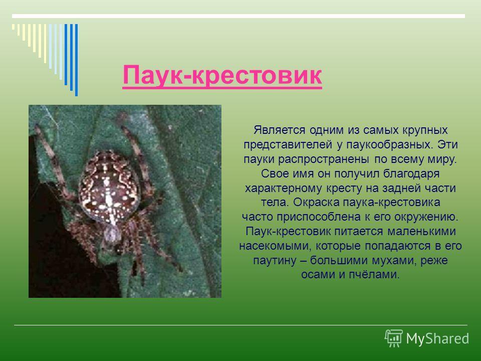Паук-крестовик Является одним из самых крупных представителей у паукообразных. Эти пауки распространены по всему миру. Свое имя он получил благодаря характерному кресту на задней части тела. Окраска паука-крестовика часто приспособлена к его окружени