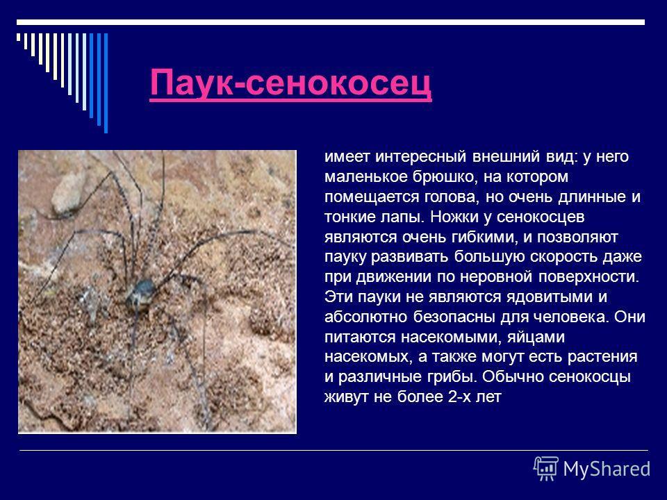 Паук-сенокосец имеет интересный внешний вид: у него маленькое брюшко, на котором помещается голова, но очень длинные и тонкие лапы. Ножки у сенокосцев являются очень гибкими, и позволяют пауку развивать большую скорость даже при движении по неровной
