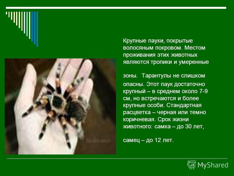 Крупные пауки, покрытые волосяным покровом. Местом проживания этих животных являются тропики и умеренные зоны. Тарантулы не слишком опасны. Этот паук достаточно крупный – в среднем около 7-9 см, но встречаются и более крупные особи. Стандартная расцв