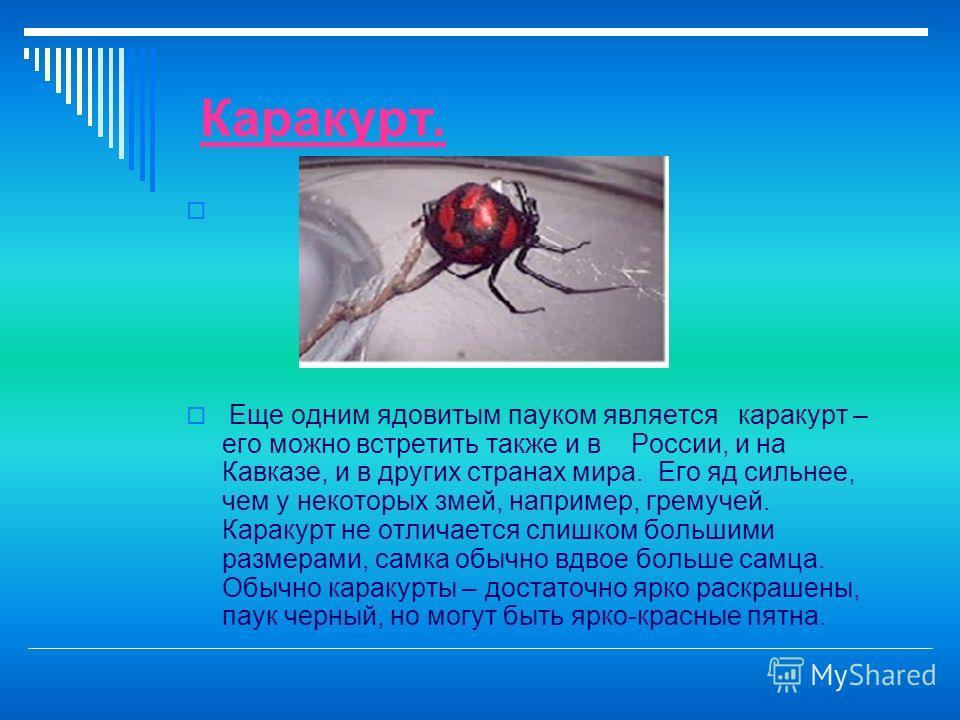 Каракурт. Еще одним ядовитым пауком является каракурт – его можно встретить также и в России, и на Кавказе, и в других странах мира. Его яд сильнее, чем у некоторых змей, например, гремучей. Каракурт не отличается слишком большими размерами, самка об