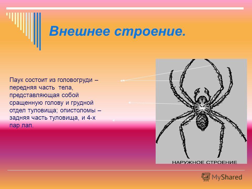 Внешнее строение. Паук состоит из головогруди – передняя часть тела, представляющая собой сращенную голову и грудной отдел туловища; опистоломы – задняя часть туловища, и 4-х пар лап.