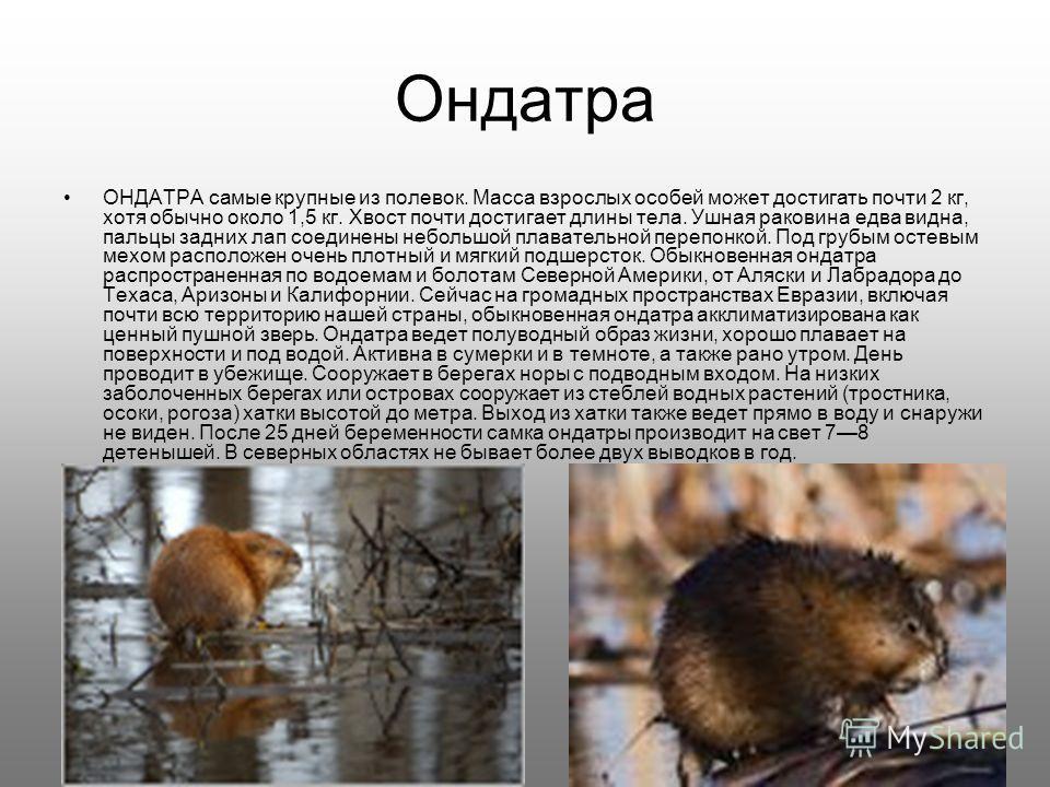 Ондатра ОНДАТРА самые крупные из полевок. Масса взрослых особей может достигать почти 2 кг, хотя обычно около 1,5 кг. Хвост почти достигает длины тела. Ушная раковина едва видна, пальцы задних лап соединены небольшой плавательной перепонкой. Под груб